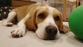 Beagle #ビーグル #うぃるさん みんなの声が安眠の秘訣です。 きょう...