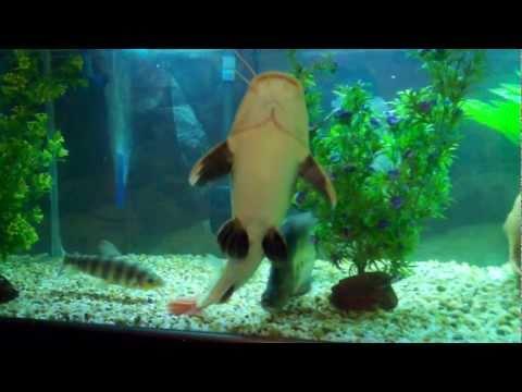 300 gallon fish tank aquarium alligator gar redtail catfish oscar marble catfish clown knife