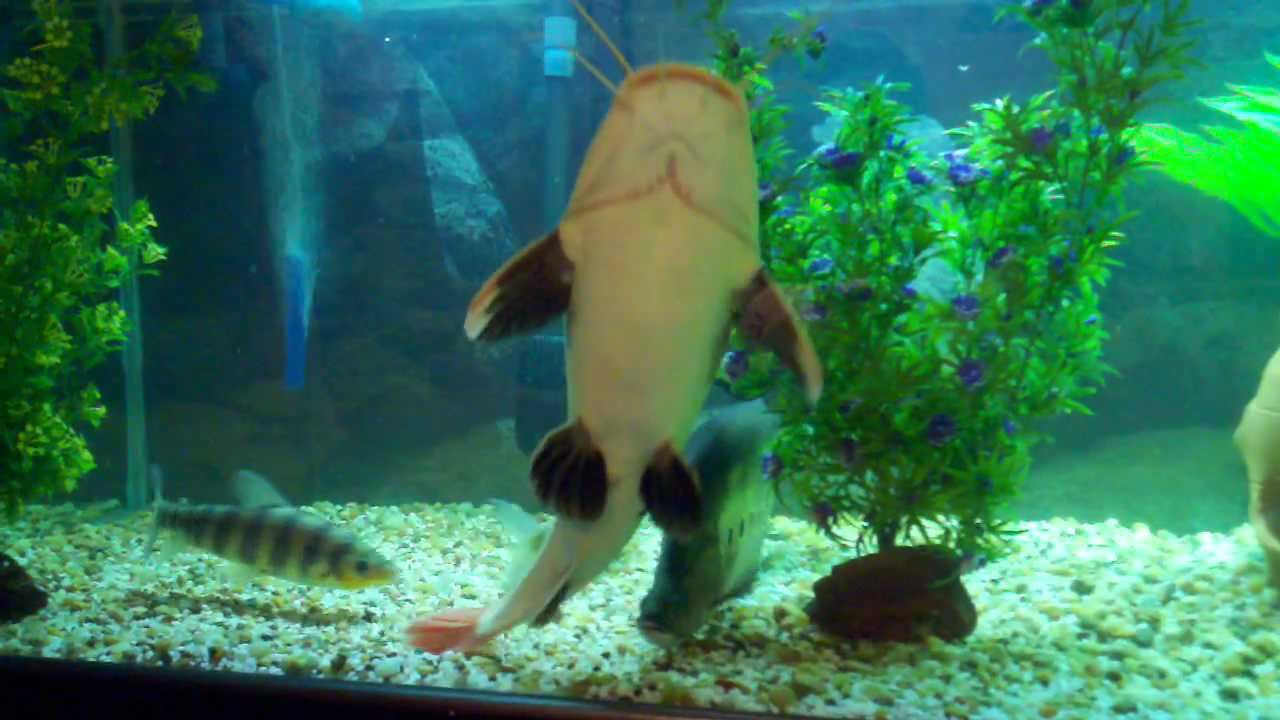 300 Gallon Fish Tank Aquarium Alligator Gar Redtail Catfish Oscar