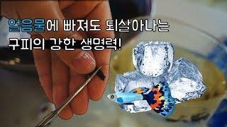 구피를 얼음물 속에 넣으면 구피 꼬리 커팅하는 방법재방…