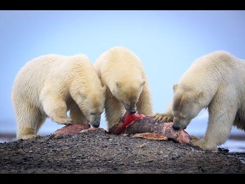 Polar Bear Feast on Whale Meat