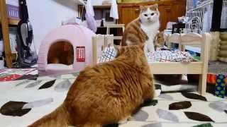 【マンチカンズ】ikeaのベッドが猫にぴったり~ikea Doll Bed For Cats~