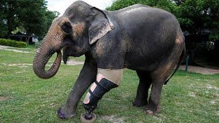 This Elephant Lost Her Left Front Leg to a Landmine  But How a Doctor Is Helping Her Is Incredible