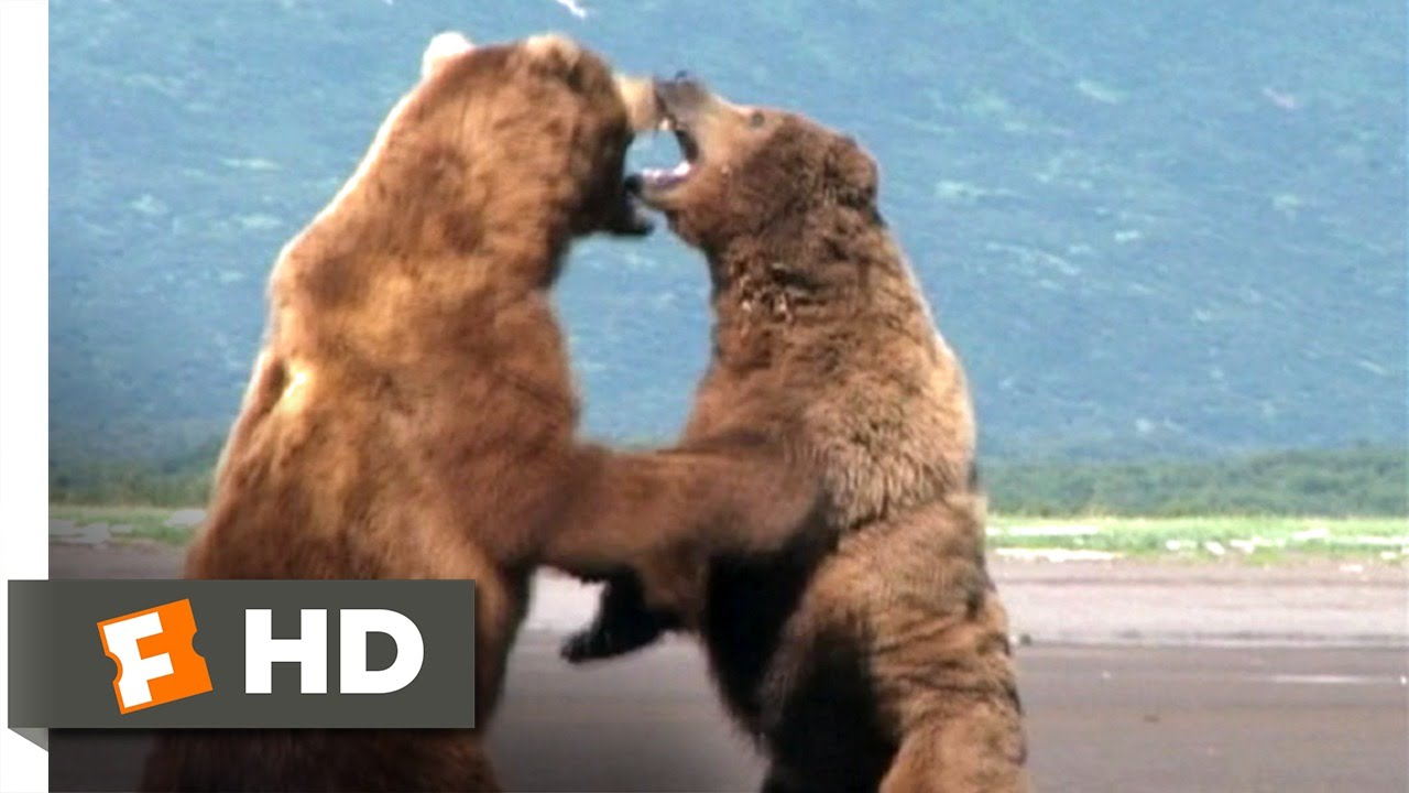 grizzly man 59 movie clip bear fight 2005 hd youtube