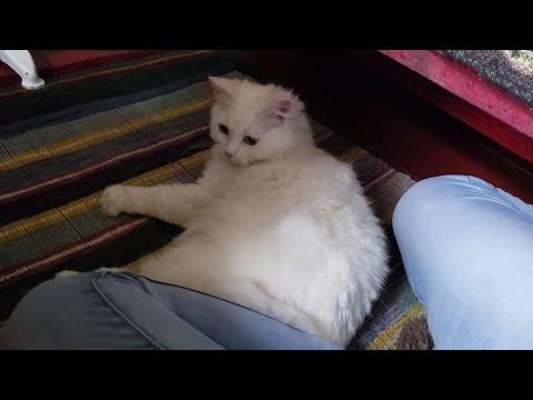 Cute Turkish Angora cat