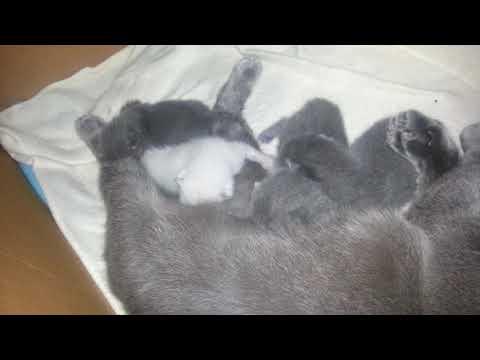 Yeni doğmuş kedilerim / Newborn gray kittens