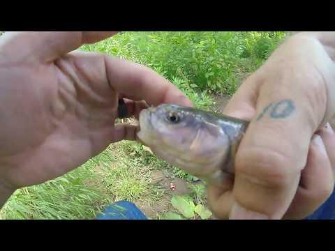 Catching Hornhead Creek Chubs