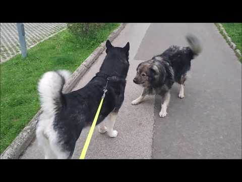 A morning meeting between doggo friends: Alaskan Malamute & Karst Shepherd