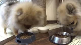Чем и как ужинает щенок малого шпица ( 5.5 месяцев) и его мама Бэтти.