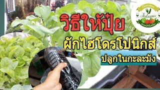 Hydroponics home garden || ผักไฮโดรโปนิกส์ ปลูกในกะละมัง วิธีให้ปุ๋ย AB ผักงาม โตไว รากขาวสวย ep.62