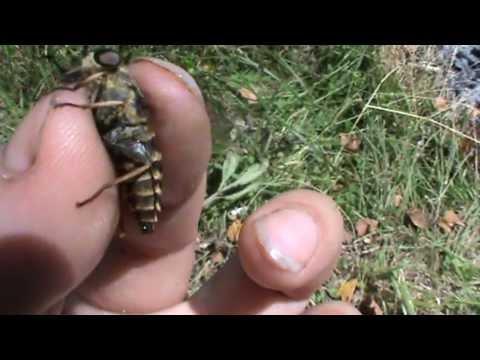 Слепень.Слепни.Насекомое.Слепень кровососущее насекомое.
