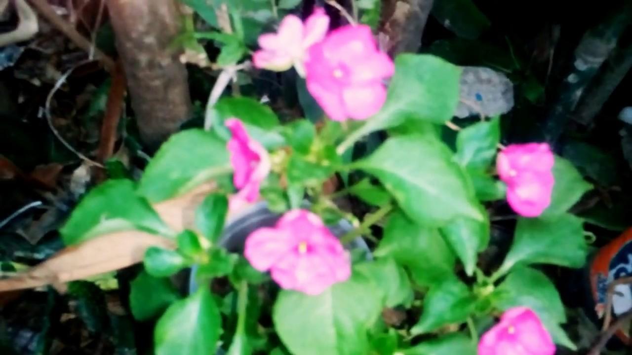 Alegrias plantas alegra guineana alegria del hogar env nro x plantas flores vivero alegrias - Alegria planta cuidados ...