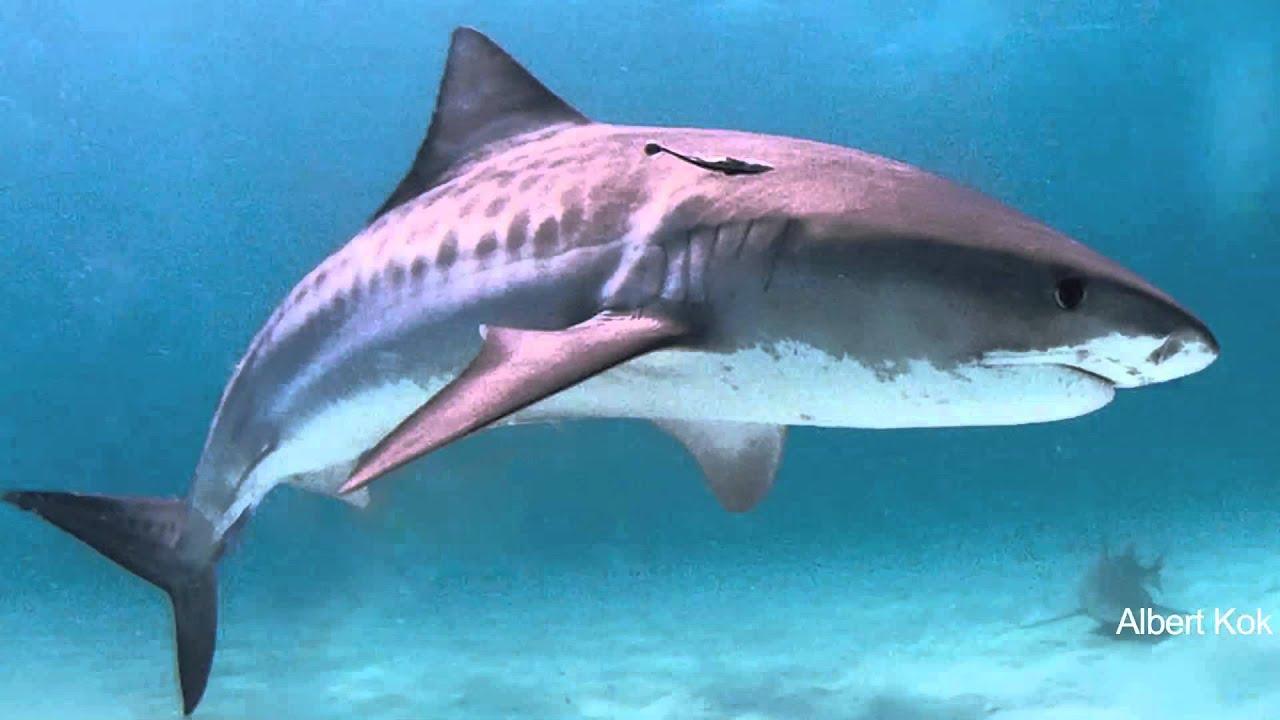 tiger shark 1280x800 - photo #22