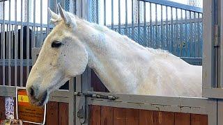 Белая лошадь. Красивая белая лошадь в деннике. Футажи для видеомонтажа. Лошади видео(Автор: Александра Лихачёва. http://positivecreativ.ru Белая лошадь. Красивая белая лошадь в стойле. Футажи для видеомон..., 2015-03-31T23:06:03.000Z)
