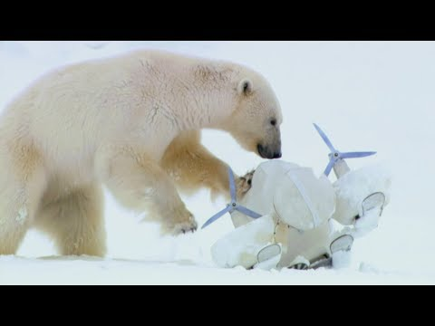 Polar Bears Play Football with a Spy Cam |  Spy In The Snow | BBC Earth