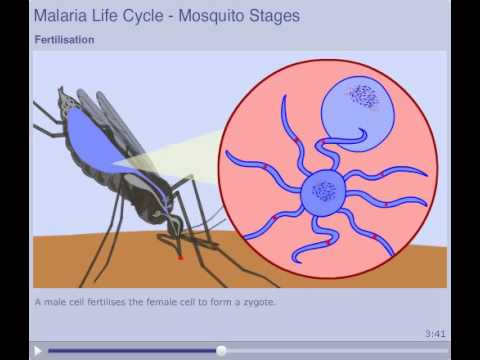 The Malaria Lifecycle  Mosquito Stages  YouTube