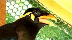 Beo antwortet mit Gelächter! Thailändischer Vogel lacht, pfeift und schimpft!