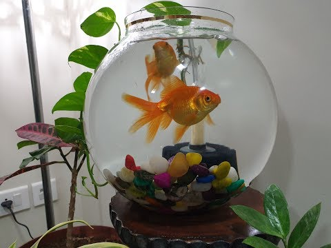 Keeping Goldfish In Fish Bowl (With Bio-sponge Filter)