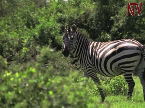 Safari in Uganda: Discovering the treasures of Lake Mburo National Park