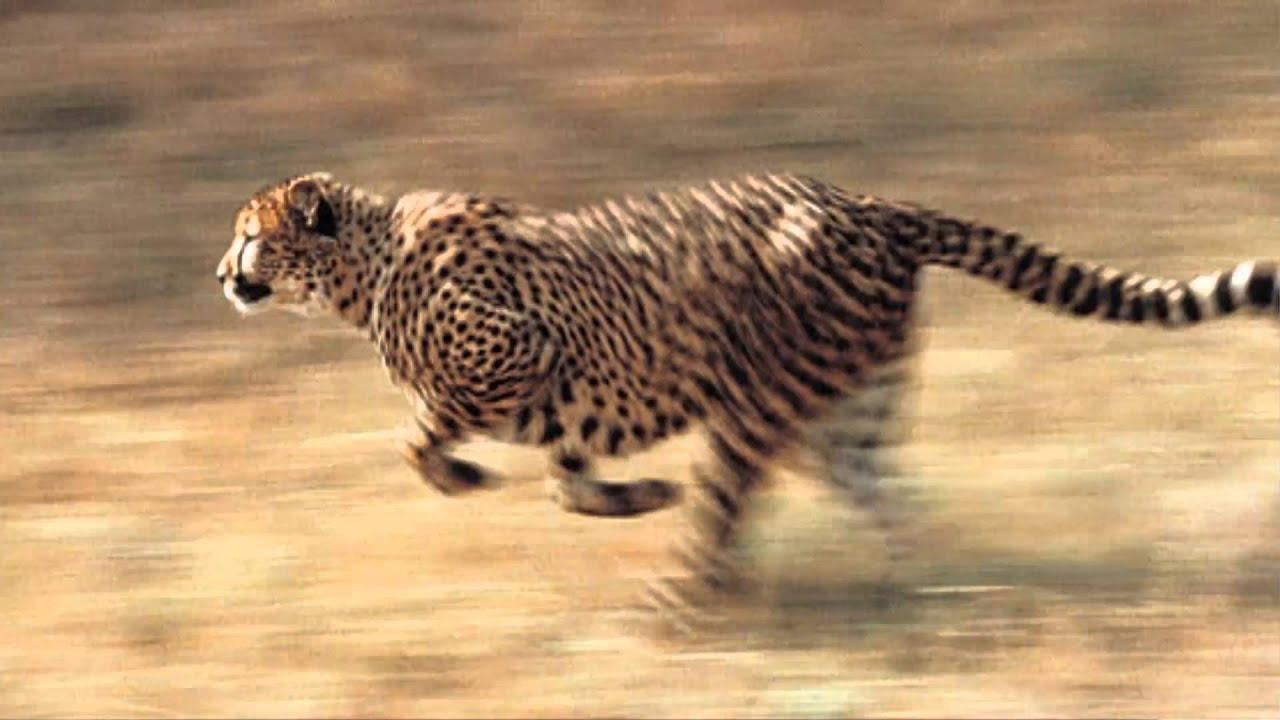 La Velocidad Del Guepardo El Animal Terrestre M 225 S R 225 Pido