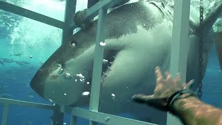 Great White Shark Tries To Eat Me Alive