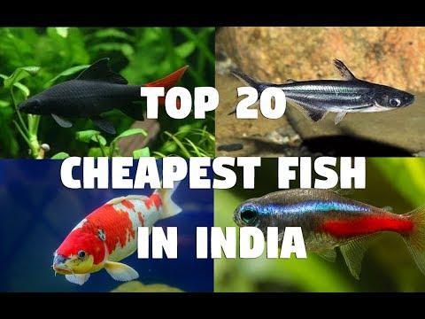 Top 20 Cheapest Aquarium Fish In India