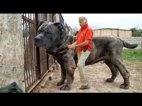 Top 10 Strongest Dogs in The World HD