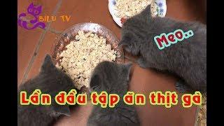 Chăm sóc mèo con Tập cho mèo ăn dặm thịt gà vô cùng thích thú