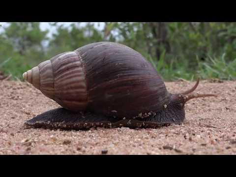 Una especie invasora en la mira: el Caracol Gigante Africano