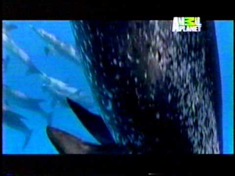 Del documental `` SIRENAS ´´ de Animal Planet Videos De Viajes