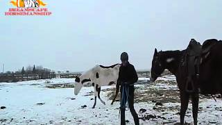Introducing Spurs to a Horse from the Ground