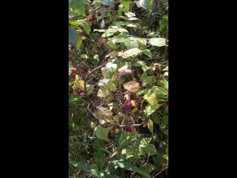 เมียฝรั่งเก็บราสเบอร์รี่ป่า ((จะหอมกว่าราสเบอรรี่บ้าน))