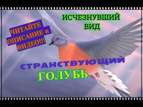 Вопрос: Странствующий голубь. Что о нём известно?