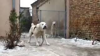 Alabai Dog Vs Human