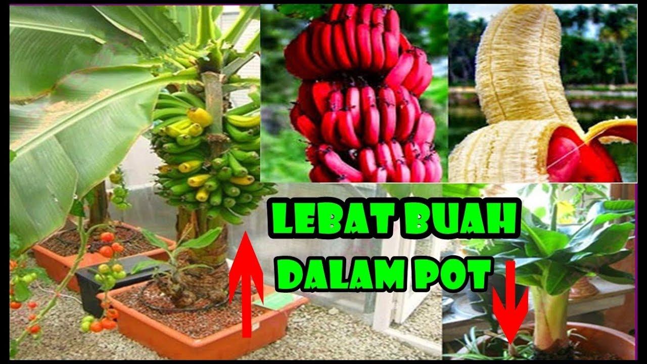 Tis Pisang Pendek Buah Lebat Dlm Pot Cara Tanam Rawat Jenis Cocopeat Plant Banana In Container