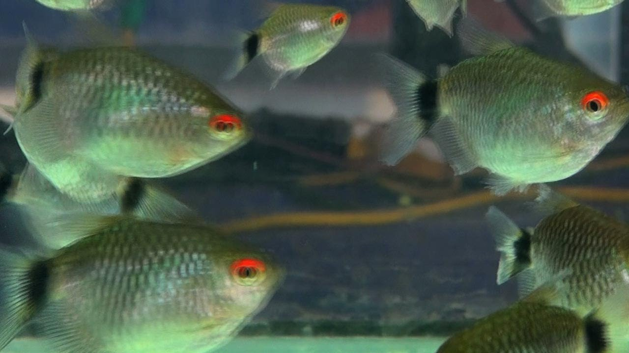 Red eye tetra, Aquarium fish - YouTube