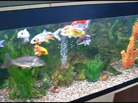 Fish tank koi youtube for Koi fish aquarium