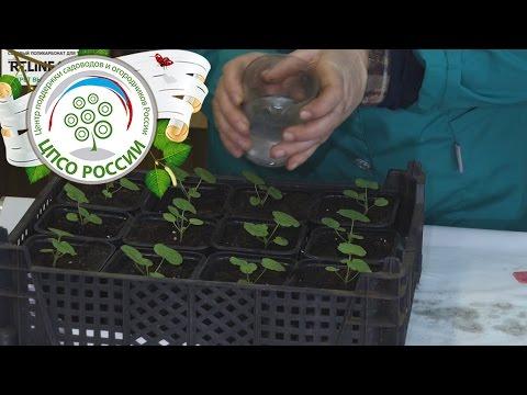Подкормка рассады пеларгонии йодом. Выращивание пеларгонии.