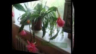 Уход за растениями, цветущие кактусы, эпифиллум