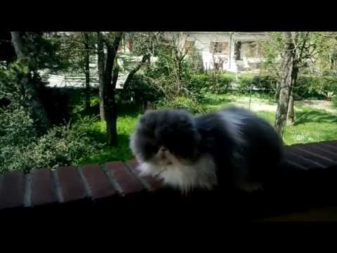 my persian   male   cat  wondy  10  years old