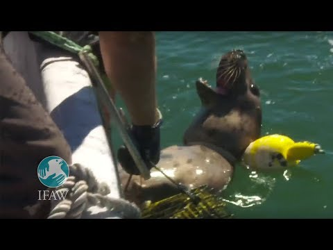 IFAW frees seal caught in fishing gear on Cape Cod