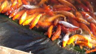 Hawaii - Evil Fish At The Dole Pineapple Plantation! (8th Nov 2010)