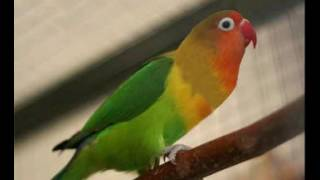 SUARA LOVEBIRD MASTERAN