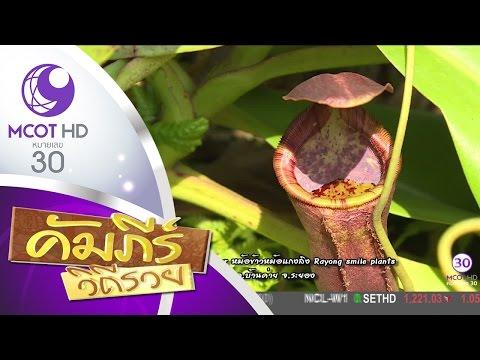 ย้อนหลัง คัมภีร์วิถีรวย (3 มี.ค.60) หม้อข้าวหม้อแกงลิง Rayong smile plants อ.บ้านค่าย จ.ระยอง   9 MCOT HD