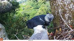 Harpy Eagle feeding young at nest