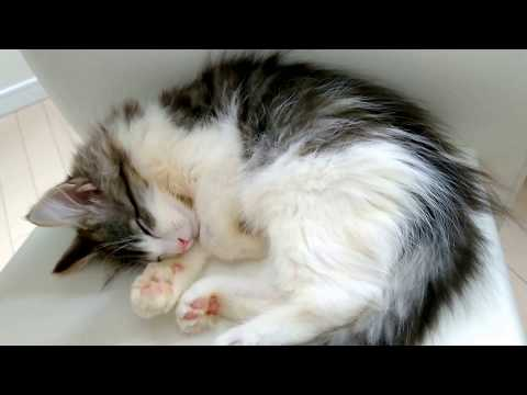 Norwegian Forest Cat's daily life 2 [mugi]