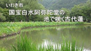 2018.7.7いわき市 国宝白水阿弥陀堂の池で咲く蓮