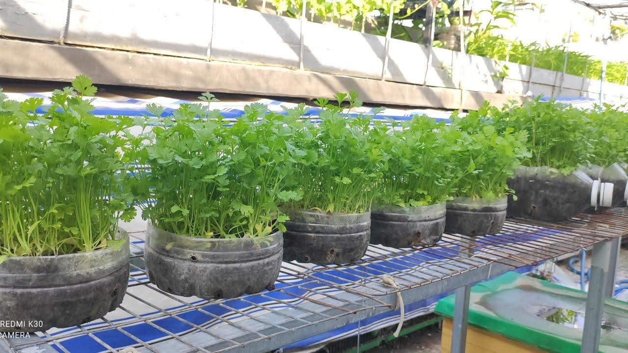 Tận dụng đáy bình 5lít cũ đã bỏ , trồng Ngò Rí thơm thiệt là thơm | Khoa Hien 430