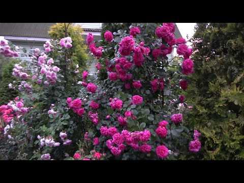 Где я покупаю саженцы роз. Мои плетистые розы.