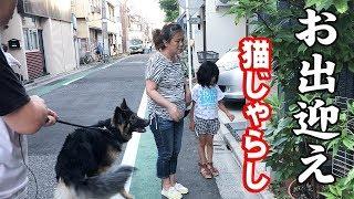 grandchild and #GermanShepherd dog ジャーマンシェパード犬マック君元...